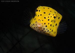 Yellow Boxfish, Pulau Weh by Doug Anderson