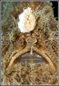 Frogfish portrait by Dray Van Beeck