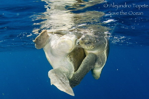 Turtles mating, Puerto Vallarta México by Alejandro Topete
