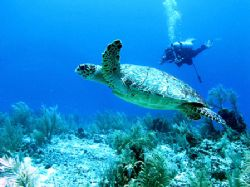 A Hawksbill turtle with a diver at the The South Water Ca... by Martin Spragg