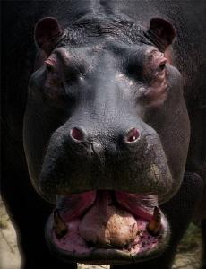 Hippo by Doris Vierkötter
