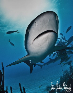 The deep reefs off the Northern Bahamas have great shark ... by Steven Anderson
