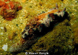 Nudibranchia Mug dive, in Ambon Bay by Wawan Mangile