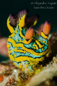 Colorfull Nudibranch, Puerto Vallarta México by Alejandro Topete