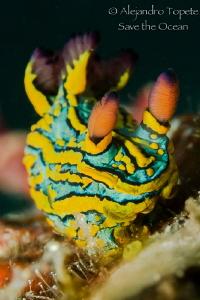 Colorfull Nudibranch, Puerto Vallarta México by Alejandro Topete