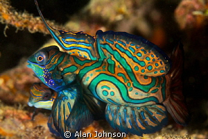 male and female Mandarin fish courtship just before they ... by Alan Johnson