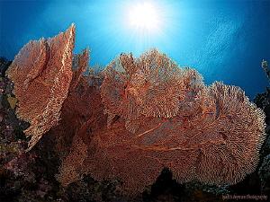 Seafan in sun rays. Lembeh Strait, Indonesia. Famous ma... by Iyad Suleyman
