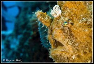 frogfish portrait in secret bay, bali by Dray Van Beeck