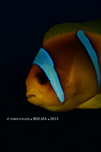 Clown fish. No p.s. by Taner Atilgan