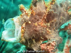 Yawning Frogfish at Rockpile, Dauin by Daniel Wernli
