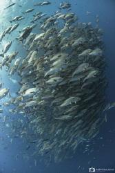 Huge aggregations of fish near the southern tip of Sinai ... by Nadya Kulagina