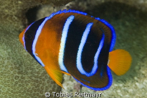 Juvenile King Angelfish, Piedras Pintas, San Carlos by Tobias Reitmayr