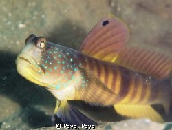 Blue Tailed Shrimp Goby by Poyo. Poyo
