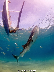 The whalesharks of Oslob. Both diving and snorkling is gr... by Christian Nielsen