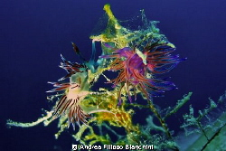 Flabelline
