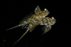 Mating Dragonets, Lembeh Straits. by Paul Whitehead