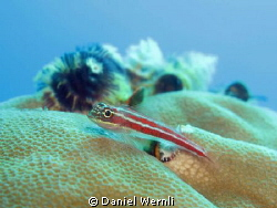 Goby and Xmas-Worm Landscape at Ginama Point, Dauin by Daniel Wernli
