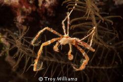 Orangutan Crab @ Cape Maeda Misaki, Okinawa by Troy Williams