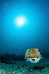 O cuttle talks on the Prince John Dive Resort housereef by Mona Dienhart