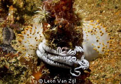 Caught in the act, Nudibranch laying eggs. by Leon Van Zijl
