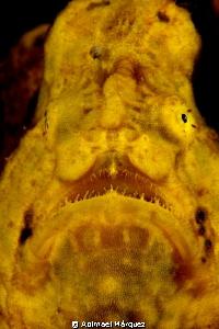 Frogfish Portrait by Abimael Márquez