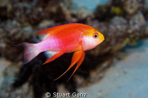Longfin Anthias from Kona by Stuart Ganz