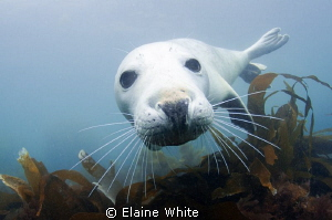 Grey Seal pup Lundy Island by Elaine White