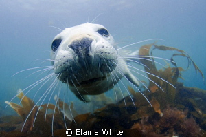 Grey seal pup off Lundy Island by Elaine White