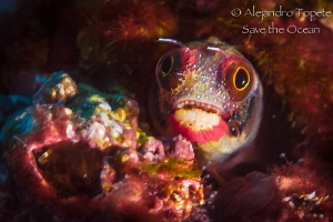 Blenny in red, Puerto Vellarta México by Alejandro Topete