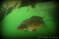 Carp during snorkling last weekend. by John De Jong