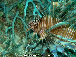 Lion Fish - Taken off the shore of Lauderdale by the Sea ... by Leanne Sullivan
