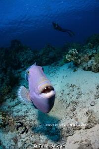 The triggerfish strikes back! by Taner Atilgan