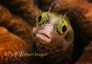 Blenny in Bonaire! by Beth Watson