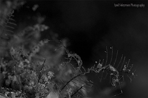 Family of Skeleton Shrimp (in Black&White!)