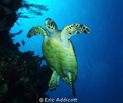 Hawksbill turtle on the wall. by Eric Addicott