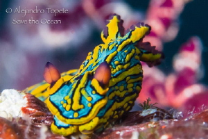 beuty nudibranch, Puerto Vallarta Mexico by Alejandro Topete
