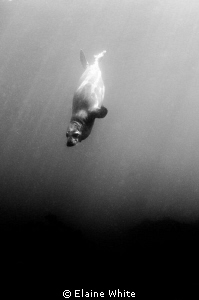 Diving seal pup converted to black and white by Elaine White