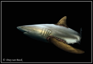 Shark week. Stop finning.    by Dray Van Beeck