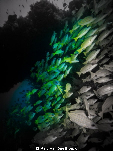 colorblack snappers by Marc Van Den Broeck