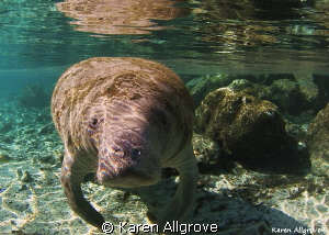 Endangered West Indian Manatee - coming in for her close up! by Karen Allgrove