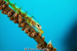 Whip coral goby hanging out while I swap lenses... by Troy Williams