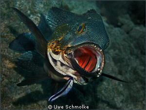 Midnightsnapper gets cleaned. by Uwe Schmolke