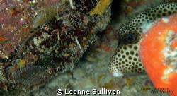 Cute little box fish by Leanne Sullivan