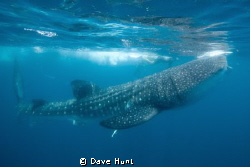 Feeding whaleshark off Isla de Mujeres with snorkelers in... by Dave Hunt