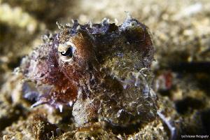 Juvenile Cuttlefish by Iyad Suleyman
