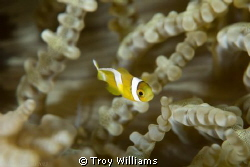 juvenile anemone fish swimming about, making me work for ... by Troy Williams