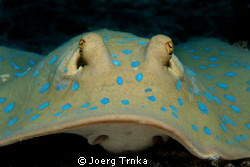 Bluespotted ribbontail ray by Joerg Trnka