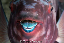 Parrotfish at night... by Martin Dalsaso