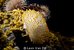 Nudibranch on the SAS PMB wreck