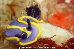 Felimare fontandraui spawning. by Joao Pedro Tojal Loia Soares Silva
